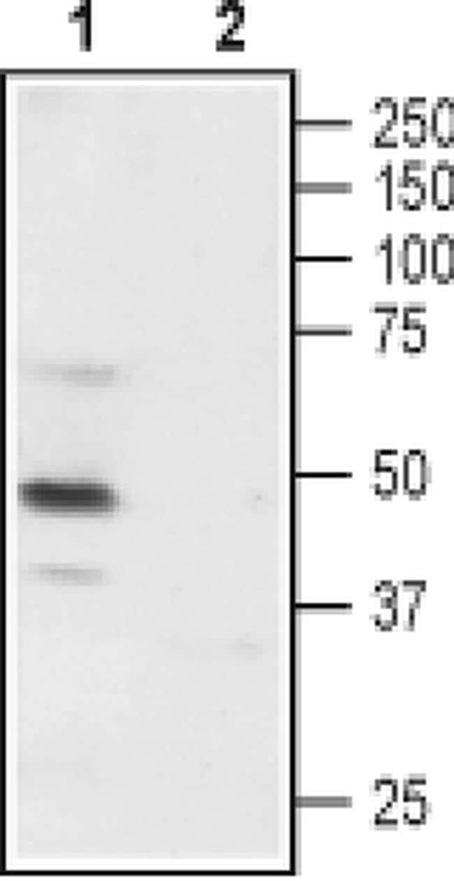P2X3 (extracellular) Antibody in Western Blot (WB)