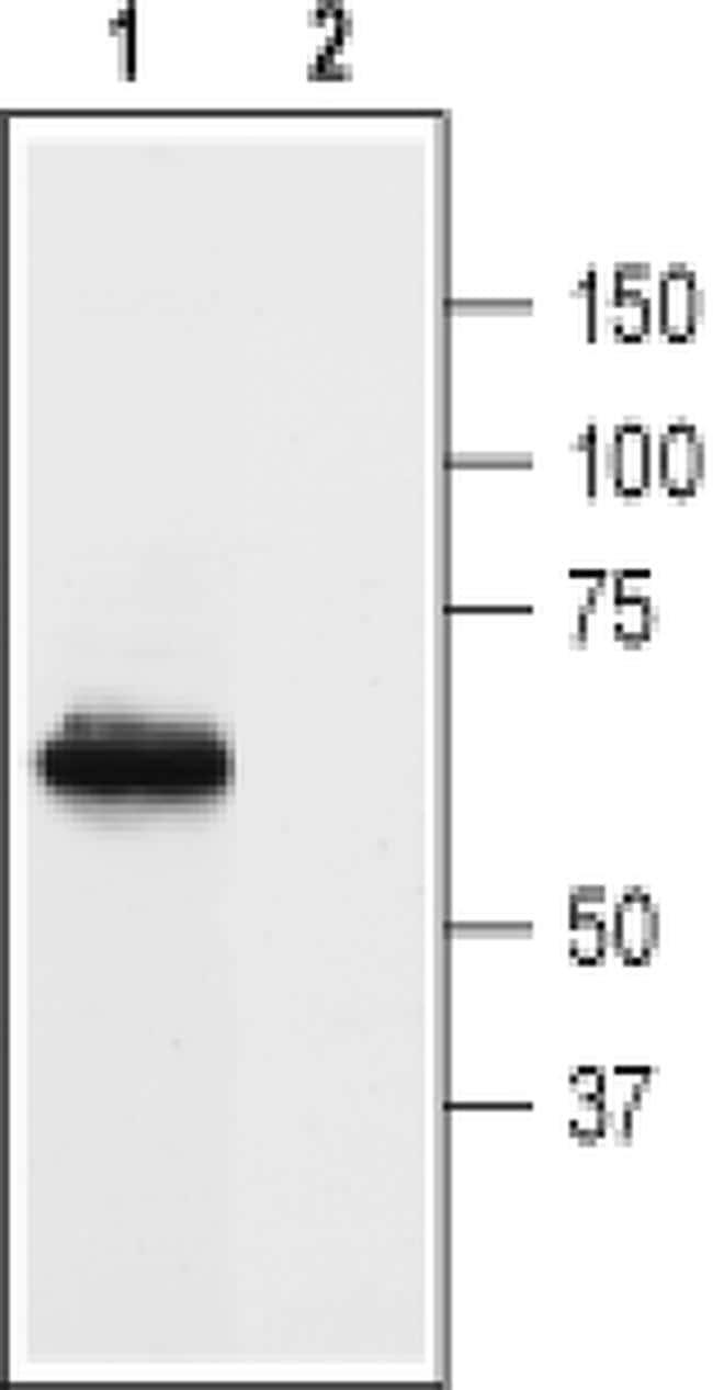 Prokineticin Receptor 1 (extracellular) Antibody in Western Blot (WB)