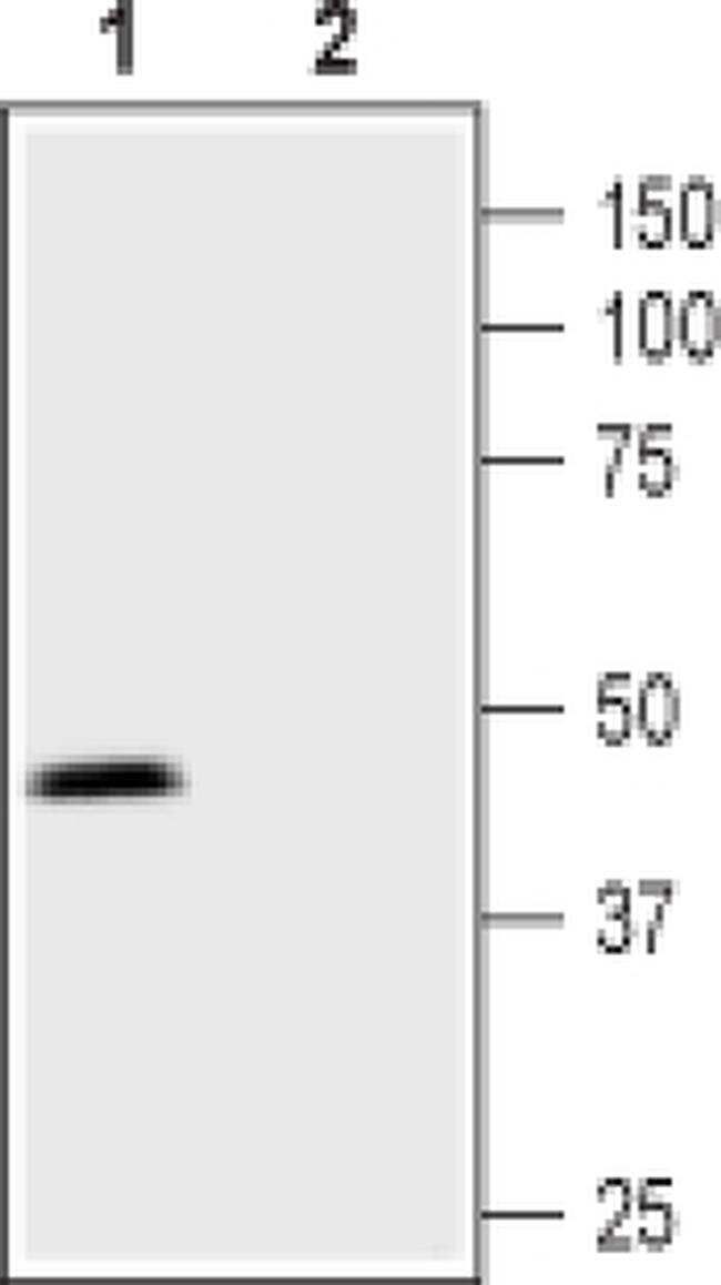 PTGER3 Antibody in Western Blot (WB)