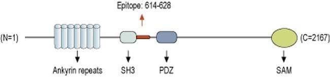 SHANK1 Antibody