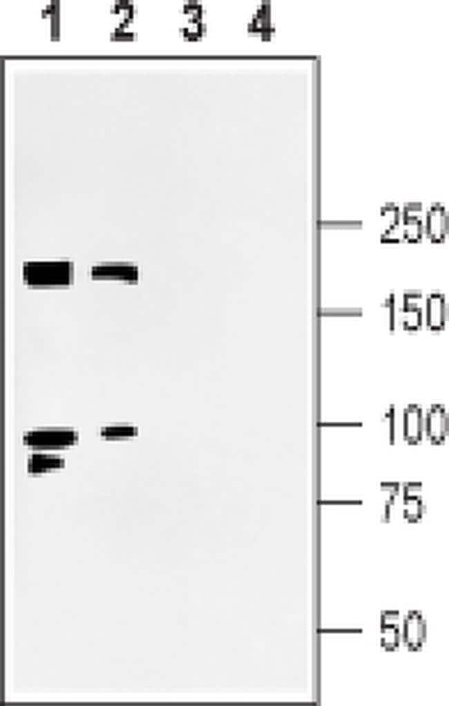 SHANK3 Antibody in Western Blot (WB)