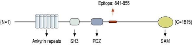 SHANK3 Antibody