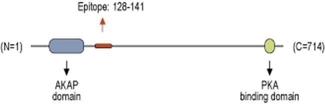 AKAP5 Antibody