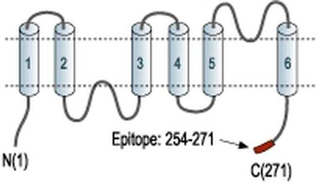 Aquaporin 2 Antibody