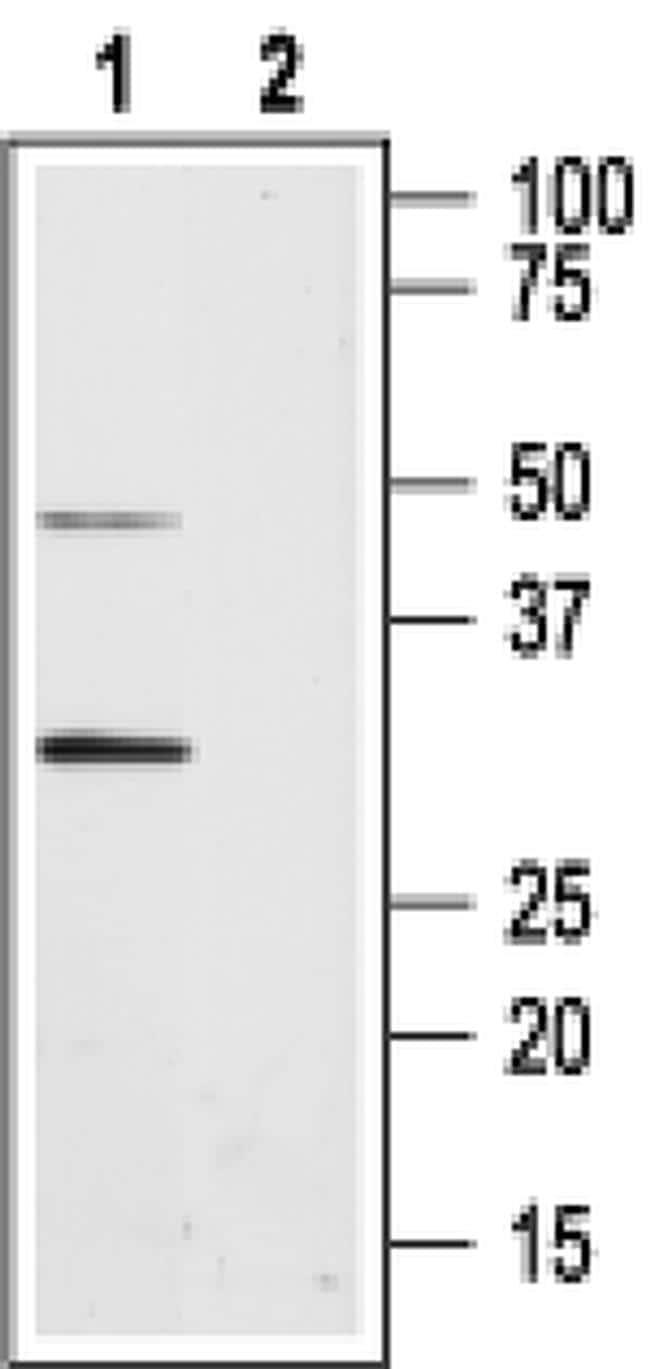 Aquaporin 8 Antibody in Western Blot (WB)