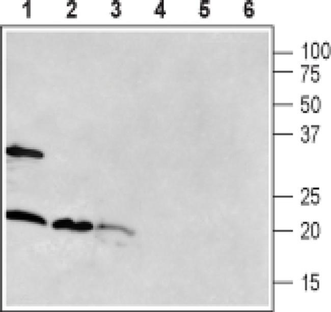 RAMP1 (extracellular) Antibody in Western Blot (WB)
