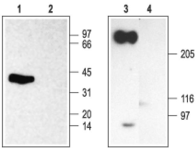 SCN2B Antibody in Western Blot (WB)