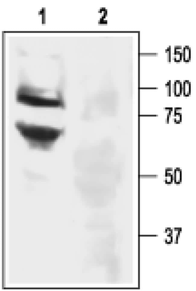 ASIC3 Antibody in Western Blot (WB)