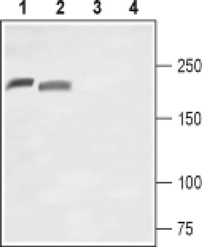 SCN10A (extracellular) Antibody in Western Blot (WB)