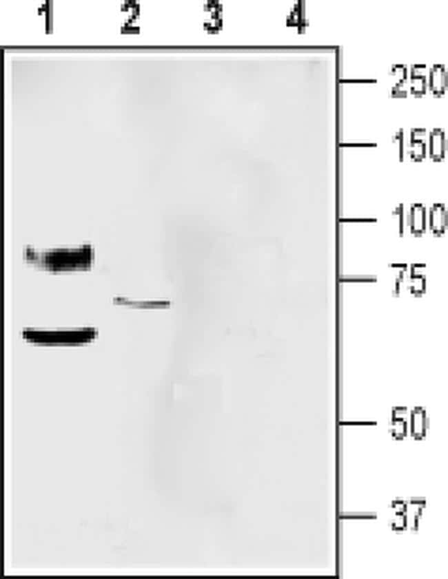 pan ASIC (extracellular) Antibody in Western Blot (WB)