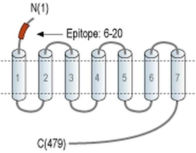 HTR2B (extracellular) Antibody