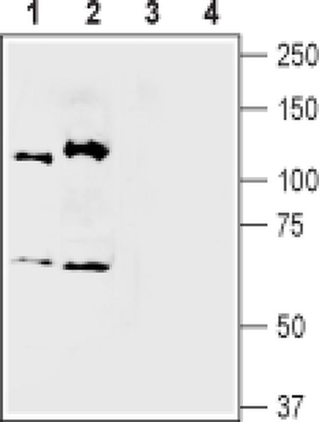 SEMA3A Antibody in Western Blot (WB)