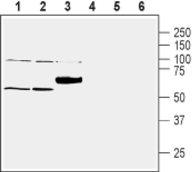 SLC30A1 Antibody in Western Blot (WB)
