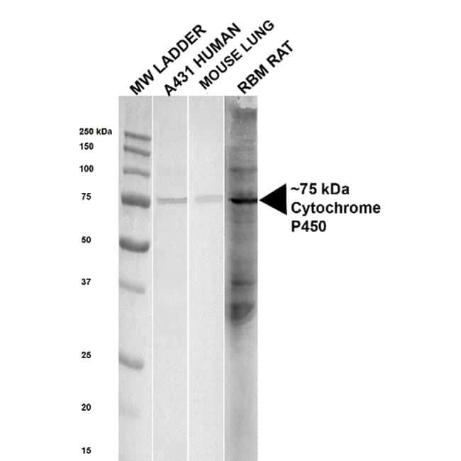 Cytochrome P450 Reductase Antibody in Western Blot (WB)