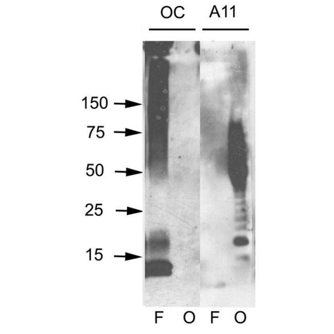 Amyloid Fibrils Antibody in Western Blot (WB)