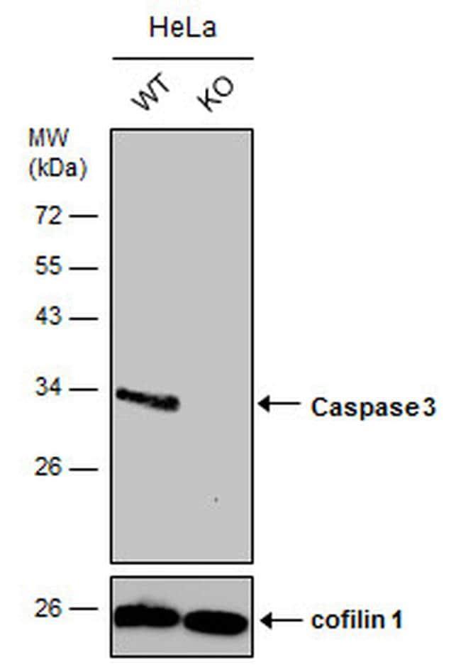 Caspase 3 Antibody in Western Blot (WB)