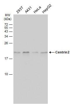 Centrin 2 Antibody in Western Blot (WB)