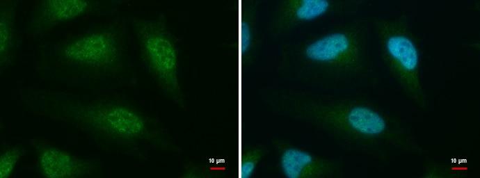 CLK3 Antibody in Immunofluorescence (IF)