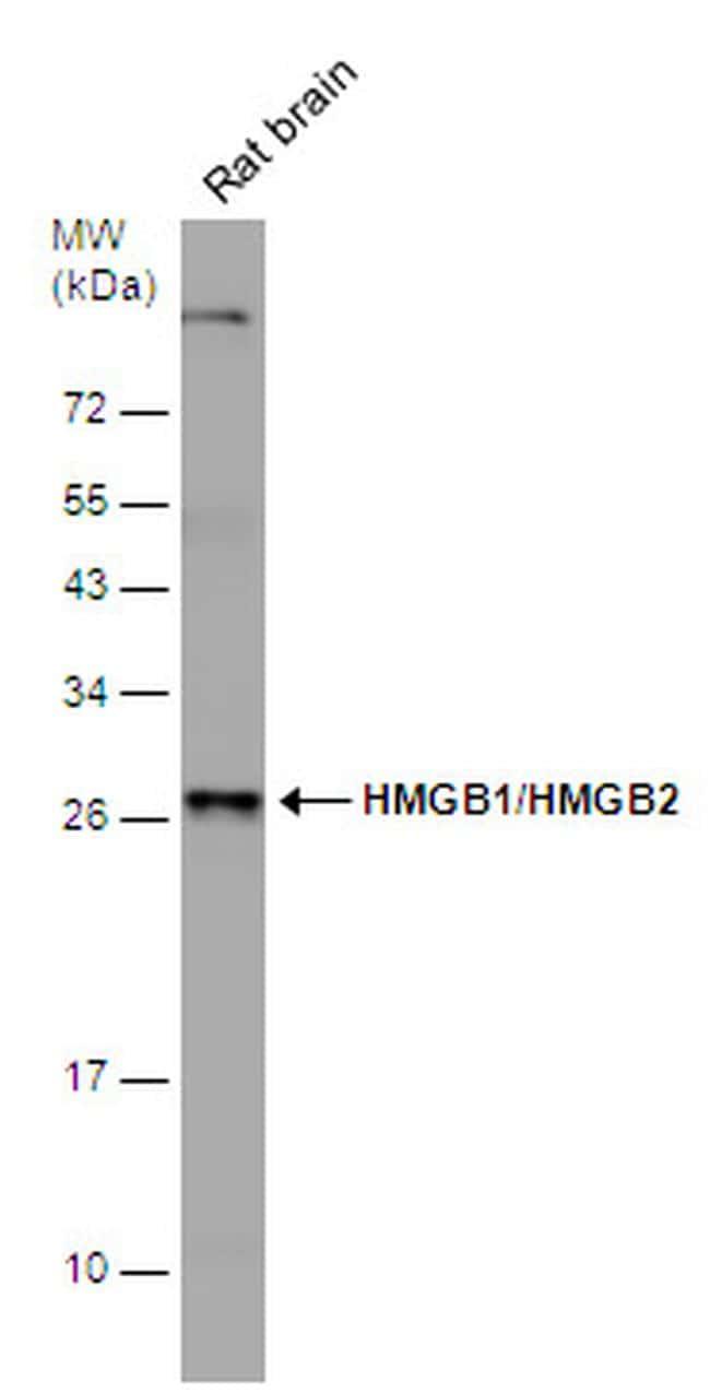 HMGB1/HMGB2 Antibody in Western Blot (WB)