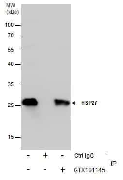 HSP27 Antibody in Immunoprecipitation (IP)