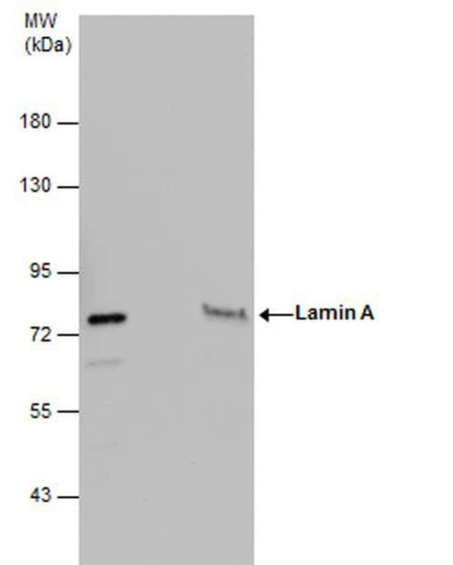 Lamin A/C Antibody in Immunoprecipitation (IP)
