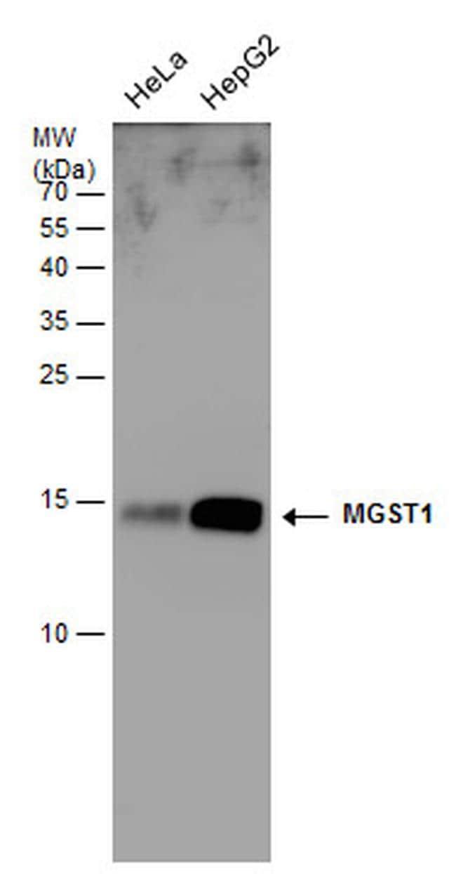 MGST1 Antibody in Western Blot (WB)