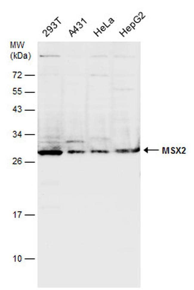MSX2 Antibody in Western Blot (WB)