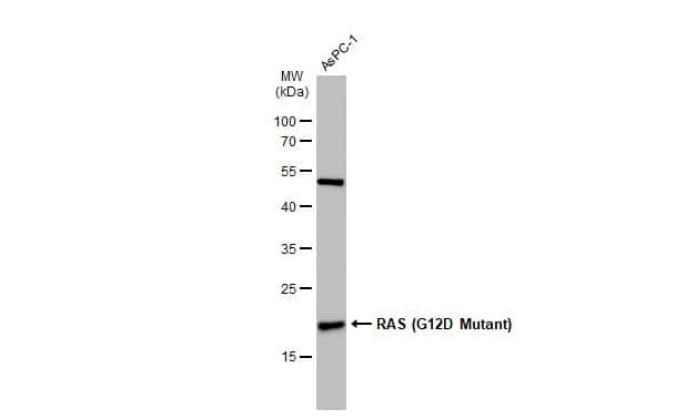 Ras (G12D Mutant) Antibody in Western Blot (WB)