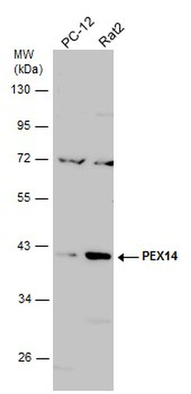 PEX14 Antibody in Western Blot (WB)
