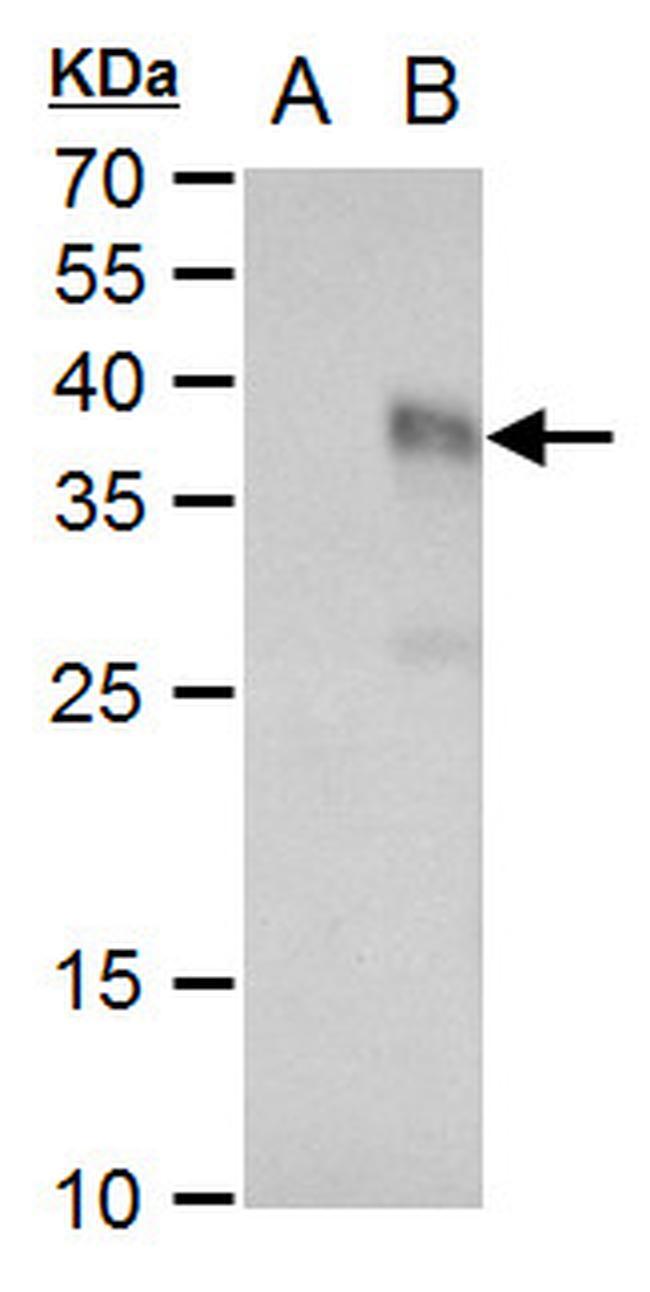 TGF beta-3 Antibody in Western Blot (WB)
