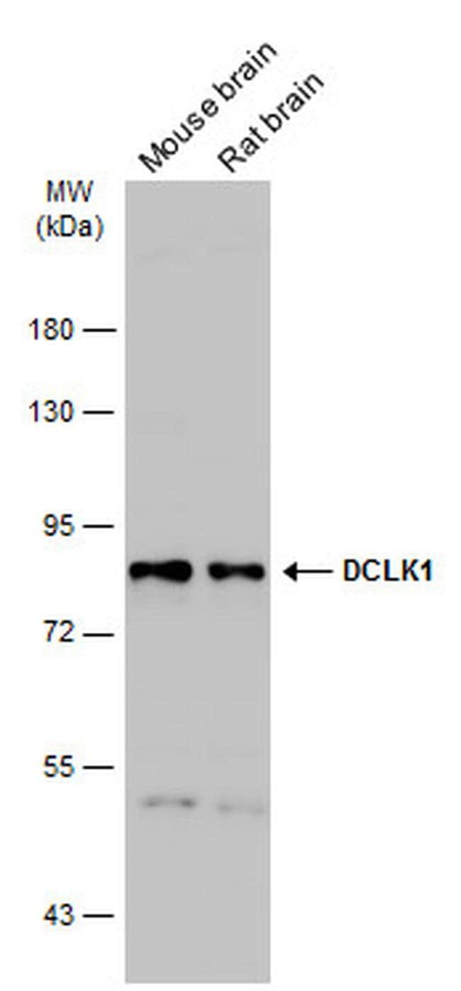 DCLK1 Antibody in Western Blot (WB)