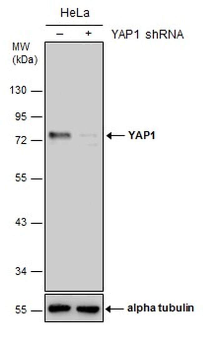 YAP1 Antibody in Western Blot (WB)