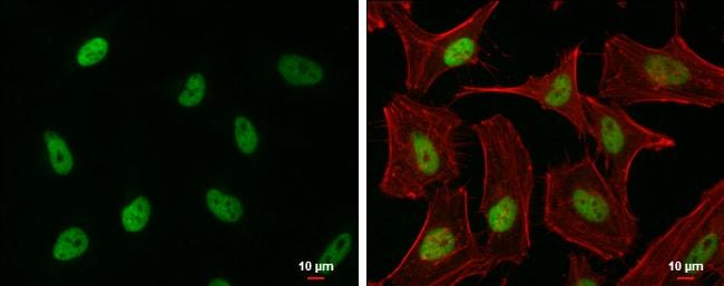 EHMT2 Antibody in Immunofluorescence (IF)