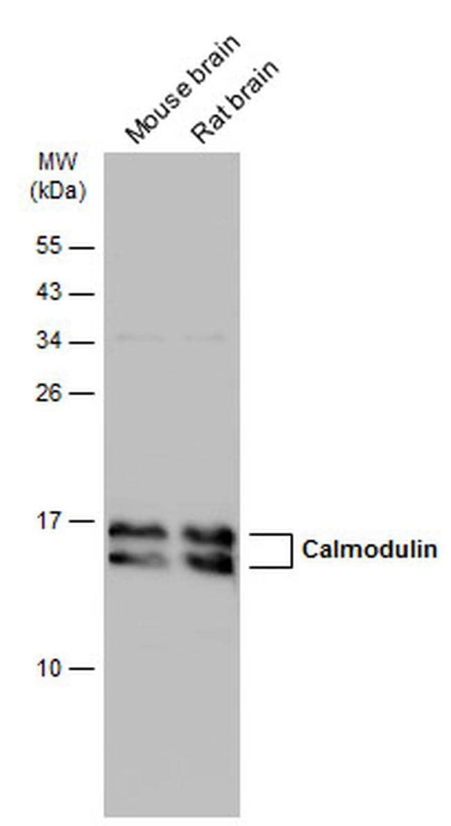 Calmodulin Antibody in Western Blot (WB)