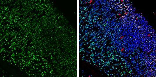 LIM1 Antibody in Immunohistochemistry (Frozen) (IHC (F))