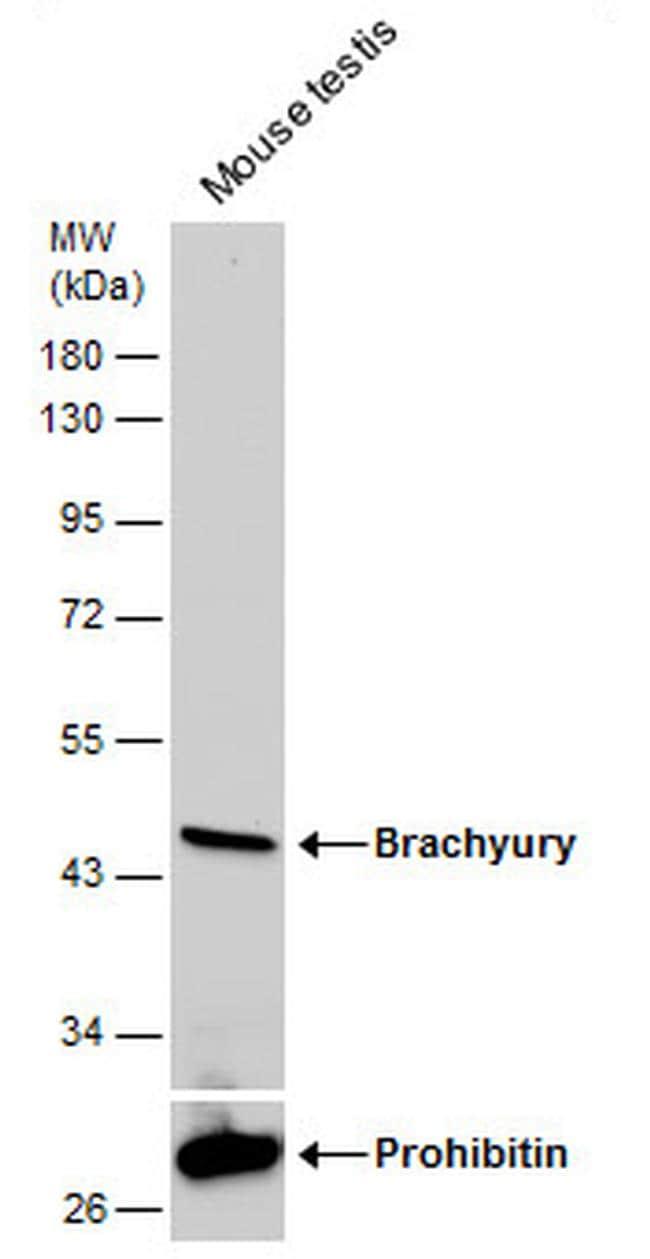 Brachyury Antibody in Western Blot (WB)