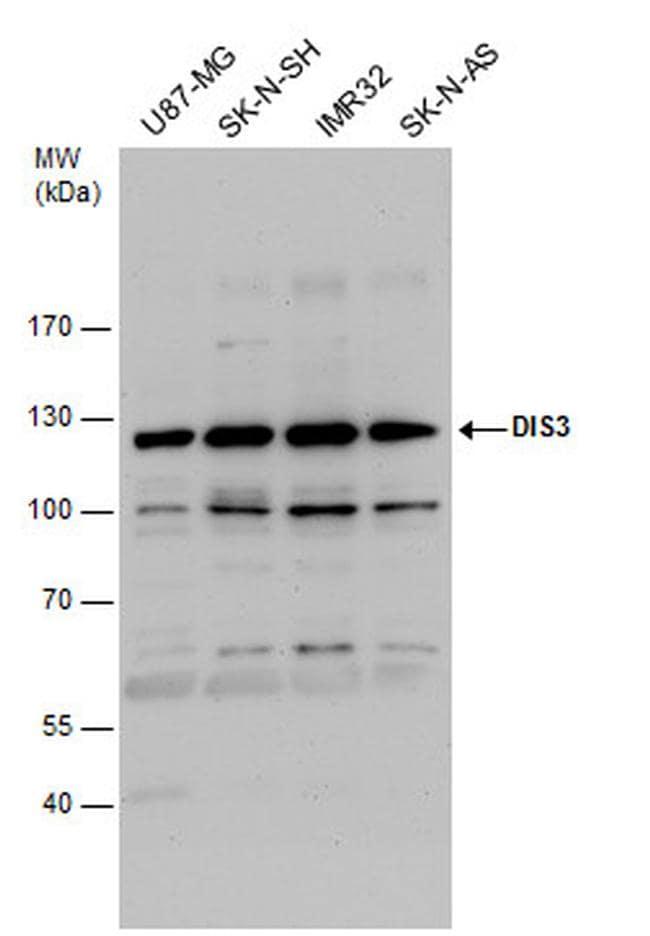 DIS3 Antibody in Western Blot (WB)