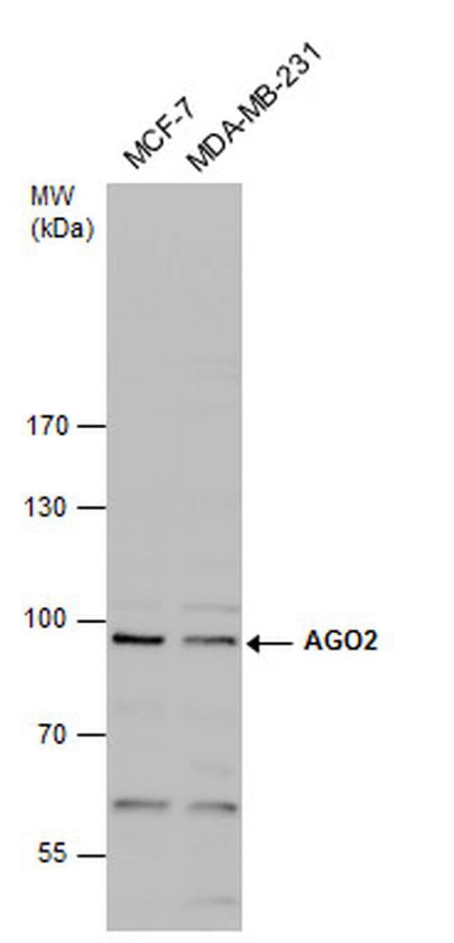 AGO2 Antibody in Western Blot (WB)