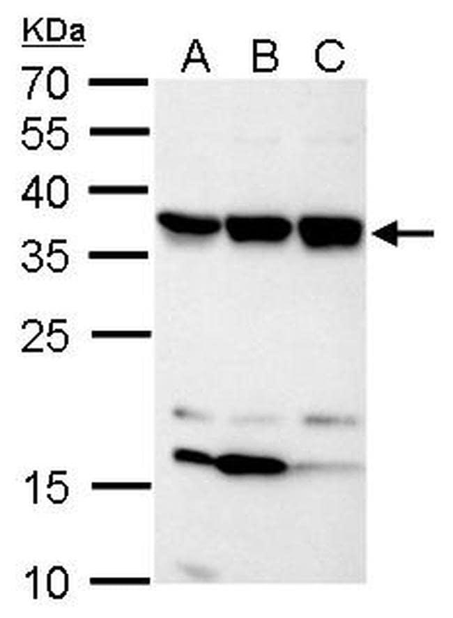 C11orf54 Antibody in Western Blot (WB)