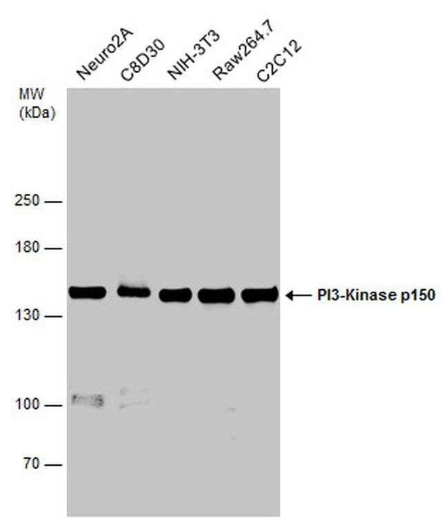 PIK3R4 Antibody in Western Blot (WB)
