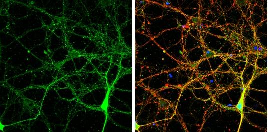 NLGN3 Antibody in Immunofluorescence (IF)