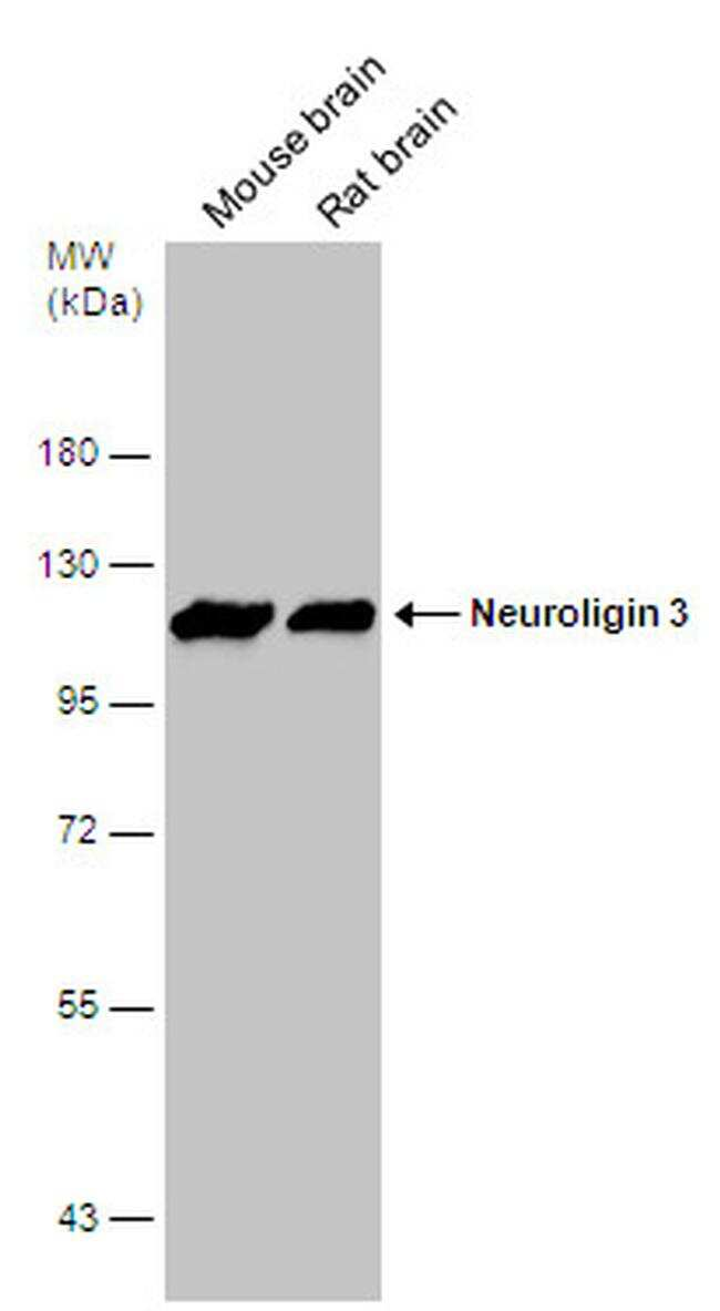 NLGN3 Antibody in Western Blot (WB)