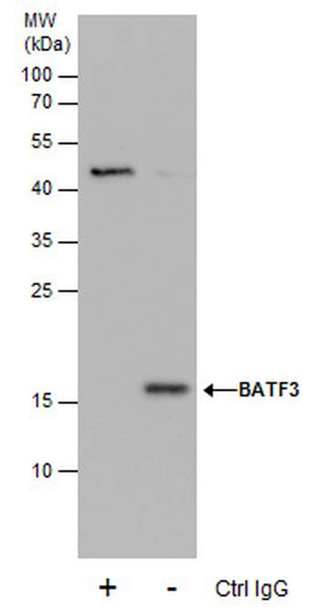 BATF3 Antibody in Immunoprecipitation (IP)