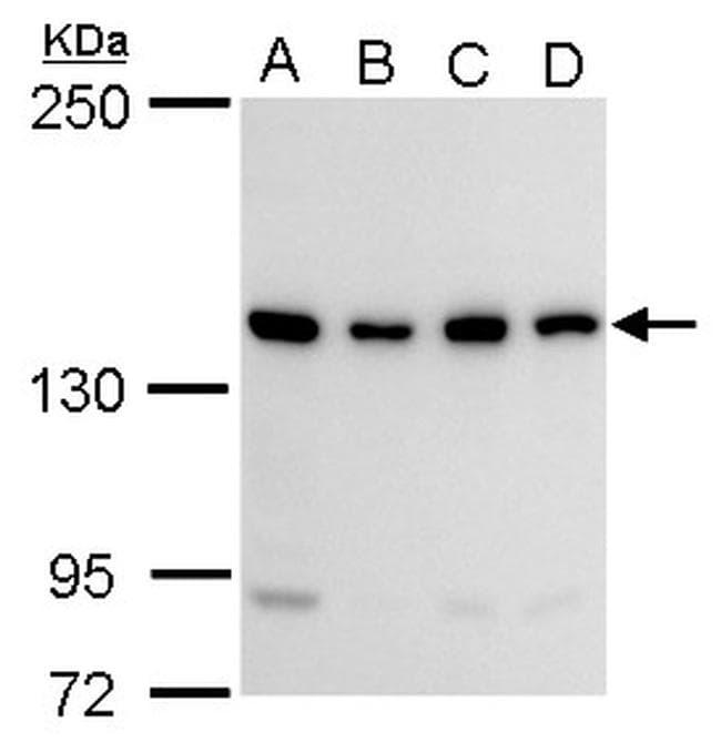 CCAR1 Antibody in Western Blot (WB)