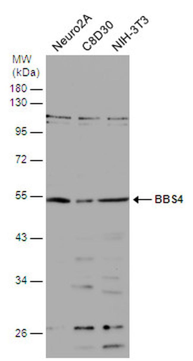 BBS4 Antibody in Western Blot (WB)
