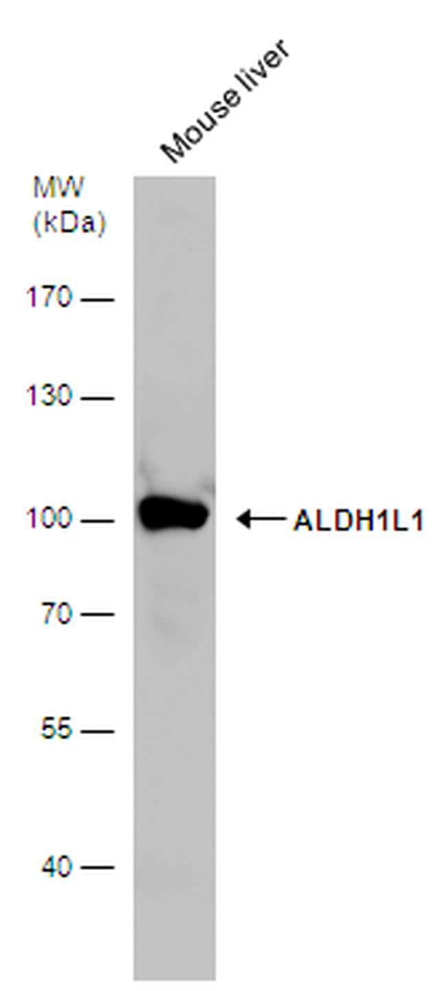 ALDH1L1 Antibody in Western Blot (WB)