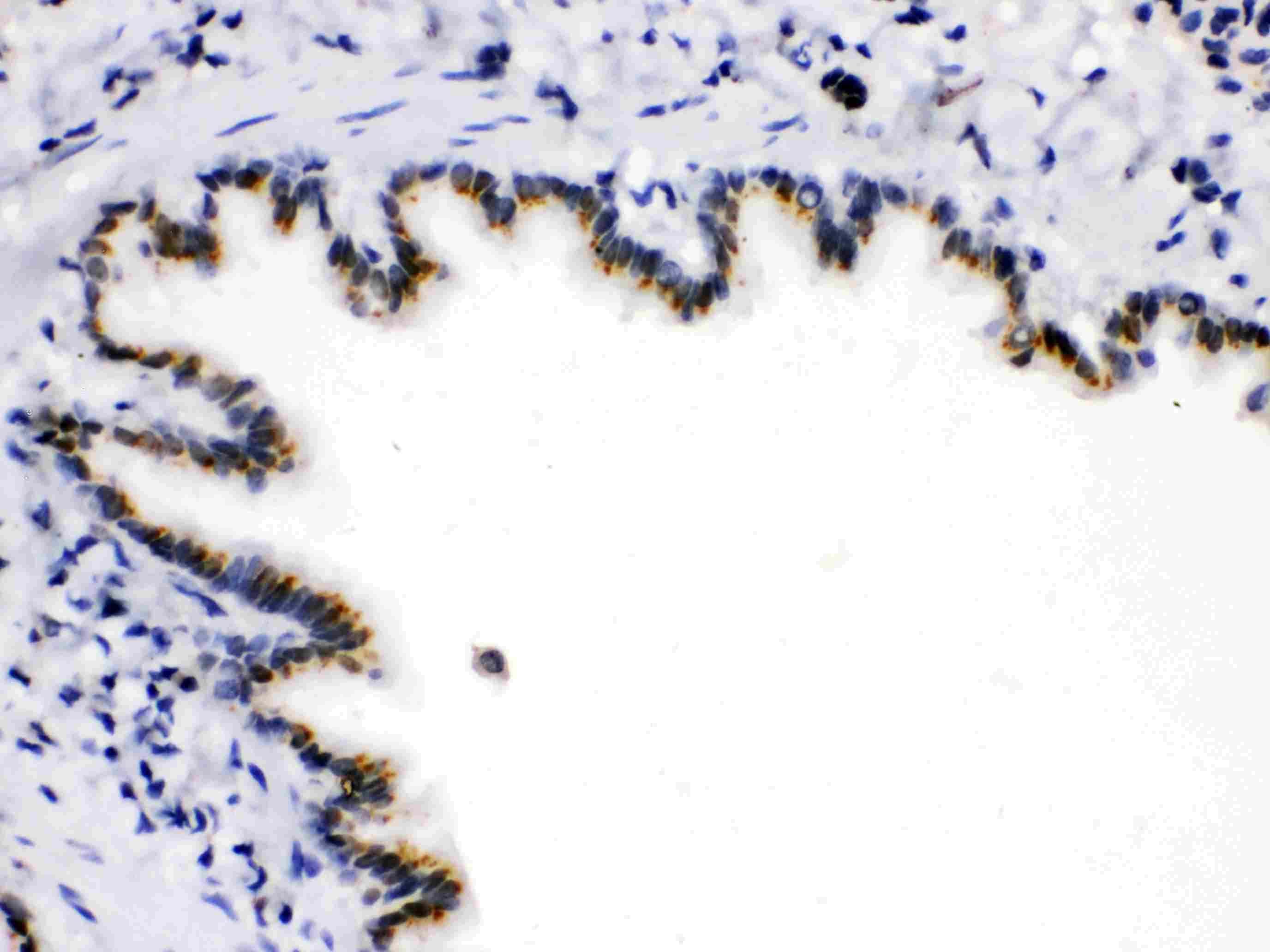 ARSA Antibody in Immunohistochemistry (Paraffin) (IHC (P))
