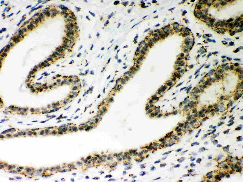 ATP5H Antibody in Immunohistochemistry (Paraffin) (IHC (P))