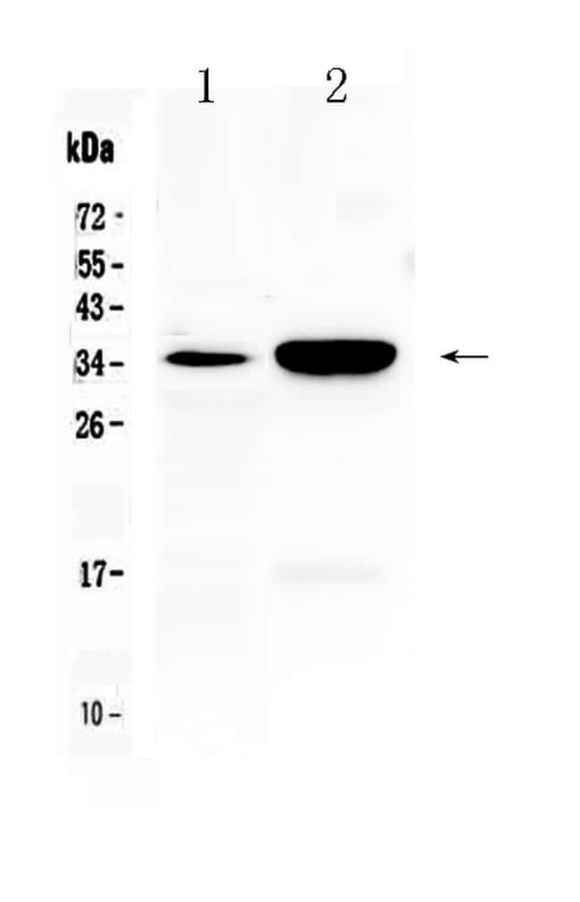 Carbonic Anhydrase IV Antibody in Western Blot (WB)