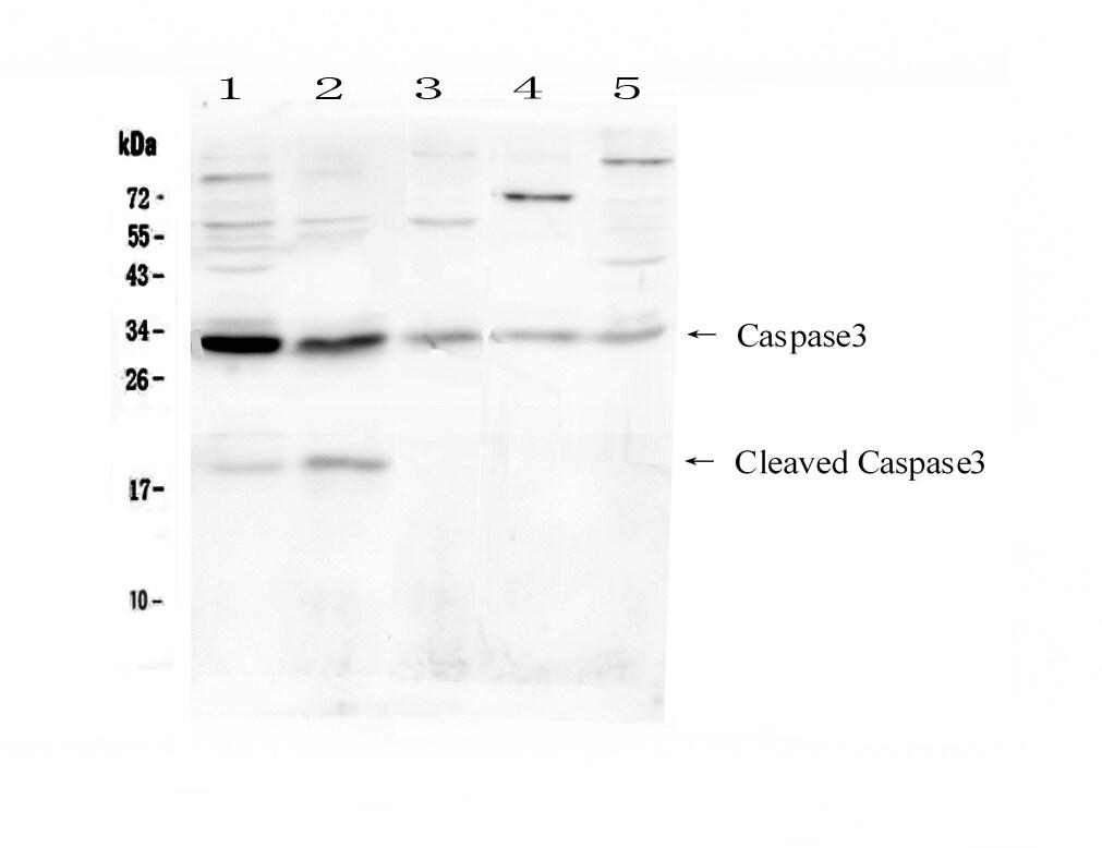 Caspase 3 p17 Antibody in Western Blot (WB)